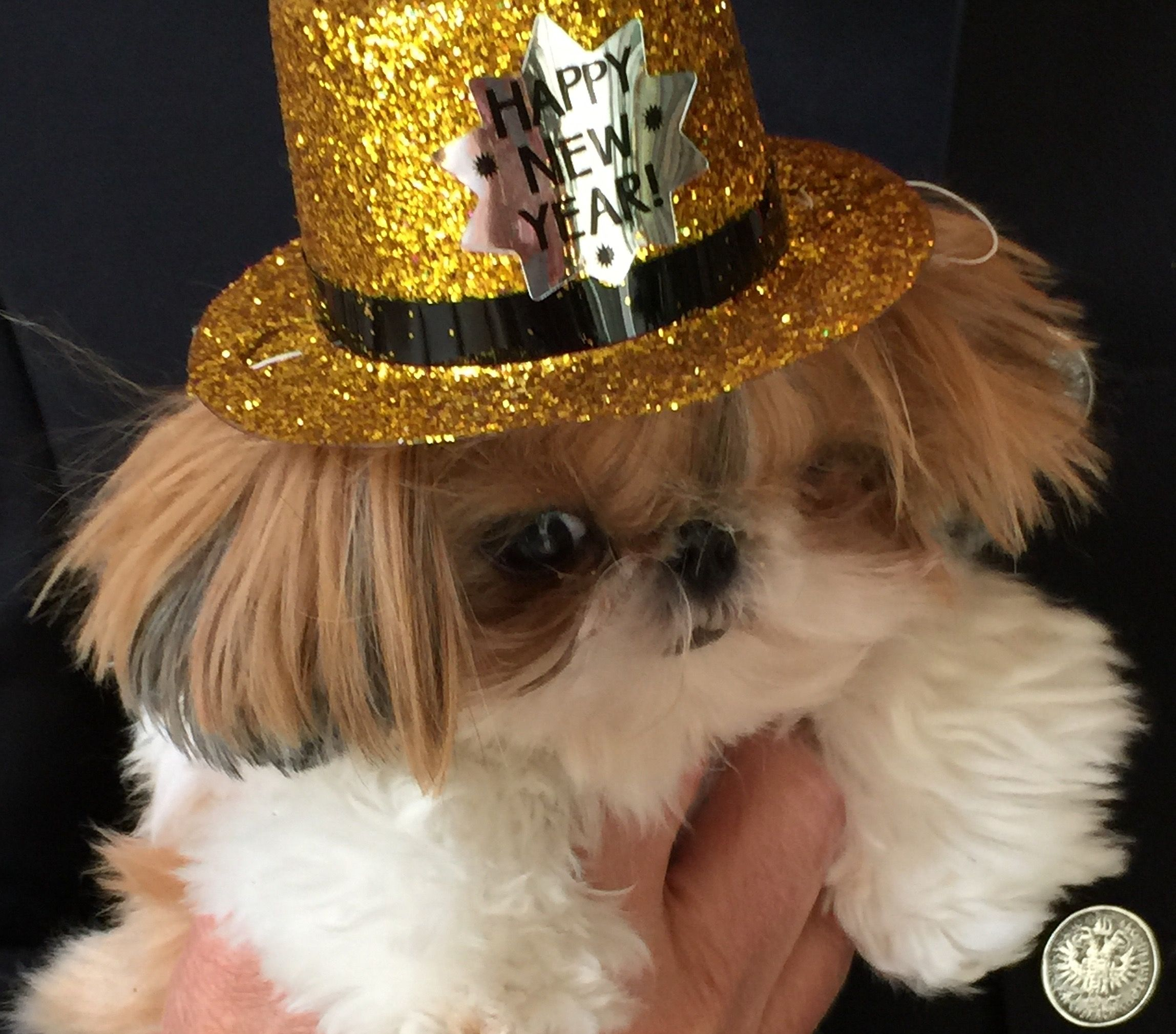 Christmas, puppy shih tzu | Dog christmas pictures, Shih ...  |Shitzu Puppies New Years Eve
