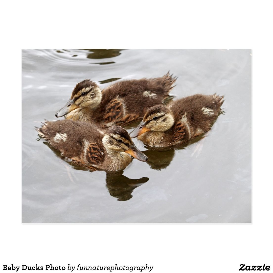 Baby Ducks Photo Postcard