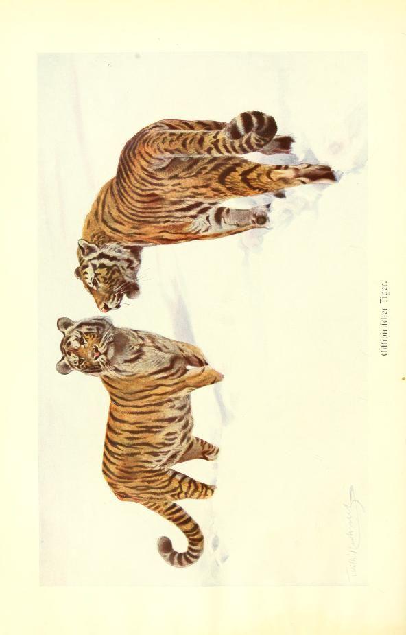 Siberian tiger, Brehms Tierleben: Allgemeine kunde des Tierreichs, Vol XII, Alfred Edmund Brehm, 1911.