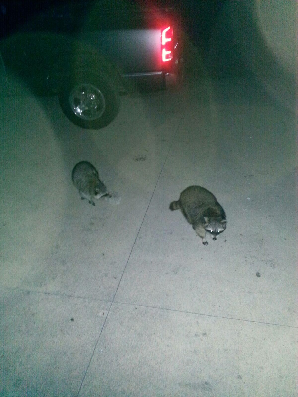 2 raccoon's that walked right up to us while camping at indiana dunes state park!!