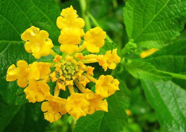 Yellow Sage | Yellow Sage