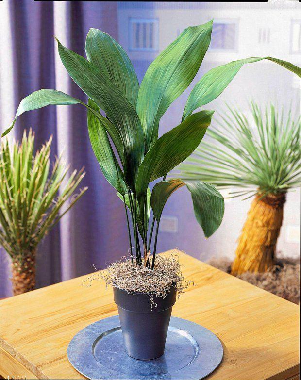 Aspidistria Wyniosla Plants Cactus Plants Indoor Plants