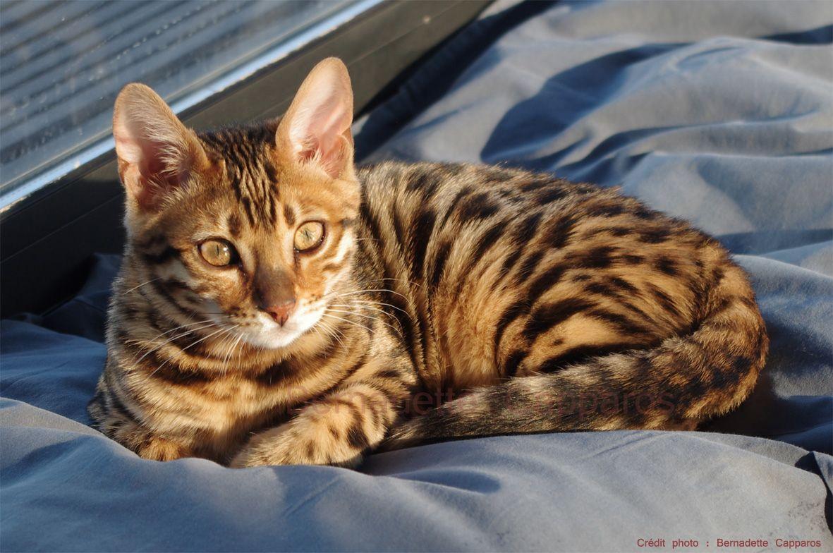 Isma, chaton bengal de 4 mois. Crédit photo : Bernadette Capparos