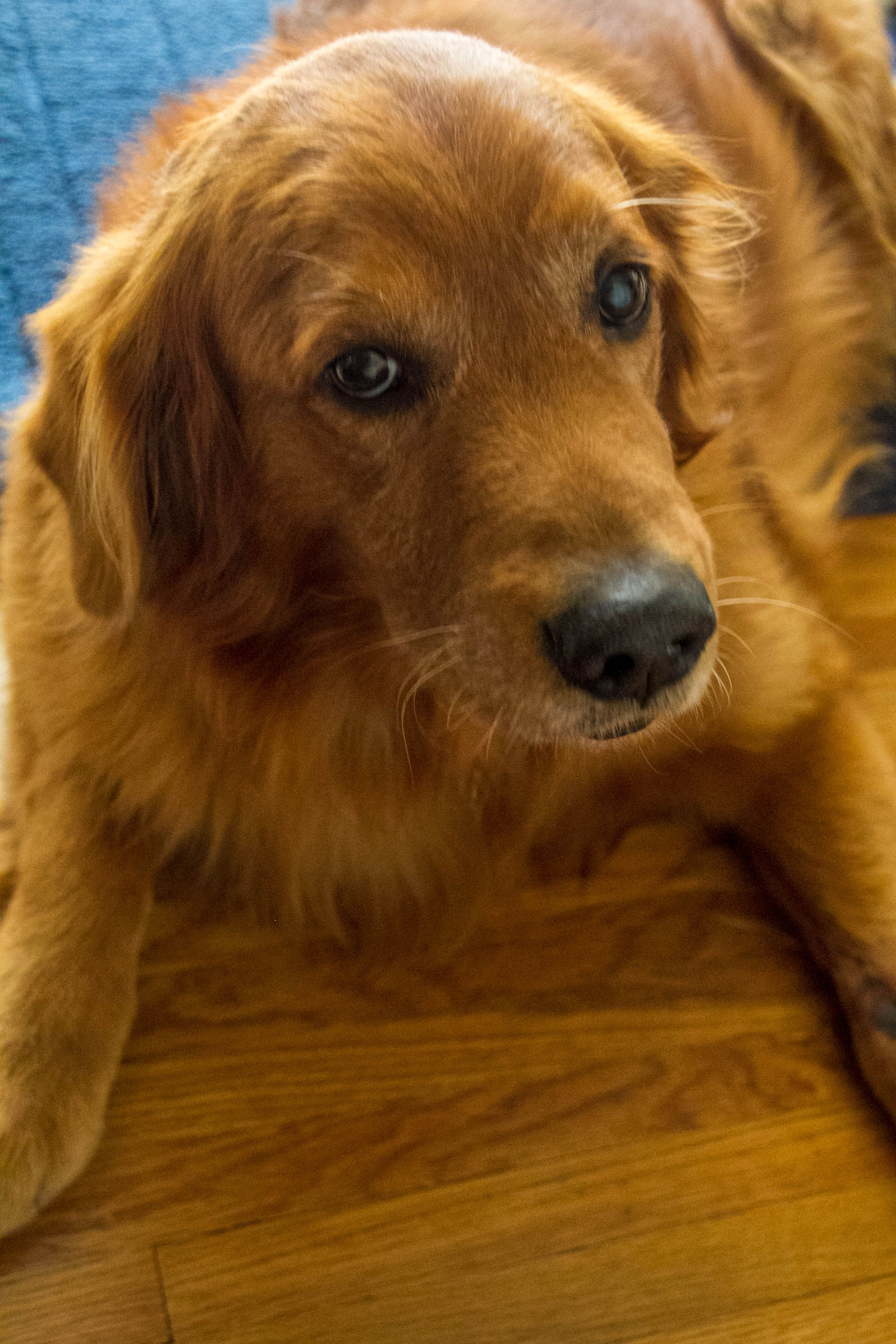 Meet Dapper Aka Dugan Adopted Golden Retriever Rescue Golden