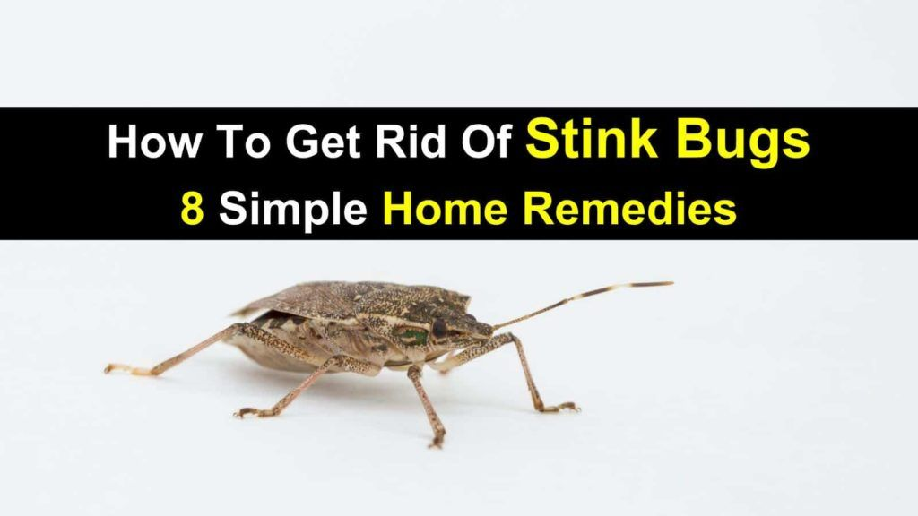 5fac76ab94d918b5d87f9efbb9e6c0d7 - How To Get Rid Of Stink Bugs At Home