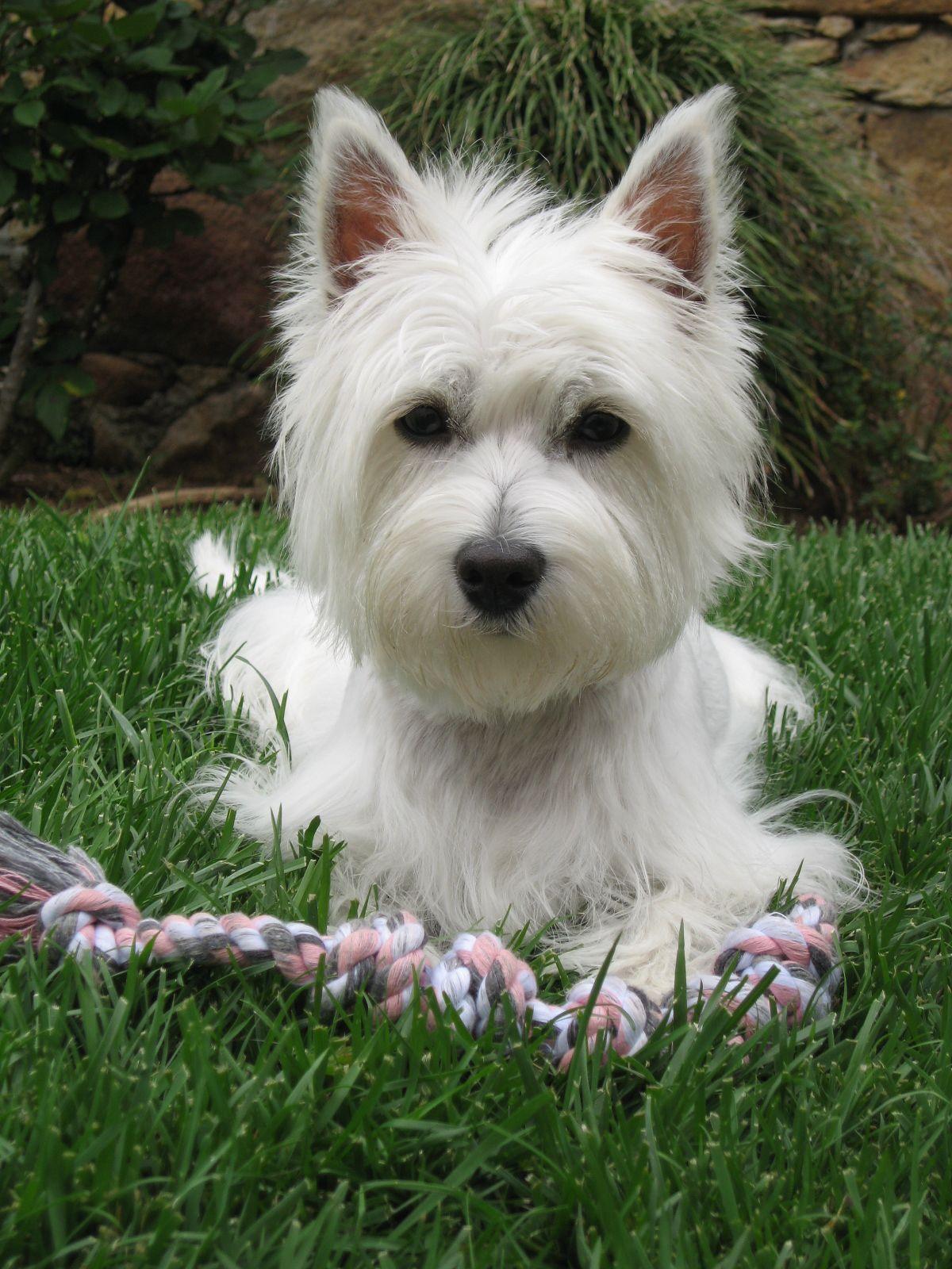 Abygail Lynn Westie Terrier West Highland Terrier West