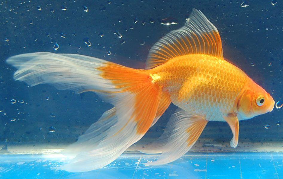 Watonai ( Ribbontail )   Aquarium Fish - Fancy Goldfish