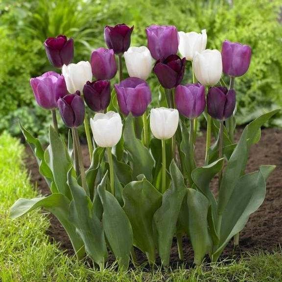 Wholesale Indoor Outdoor Flower Bulbs Direct For Sale Bulb Flowers Flower Garden Tulips Garden
