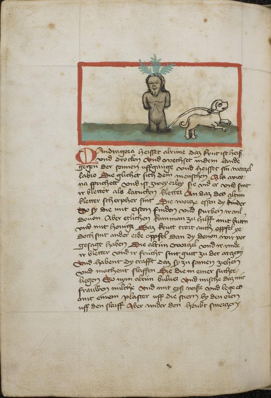 Mandragora, 1455-60, Konrad von Megenberg, Buch der Natur, Johannes Hartlieb, Kräuterbuch - Universitätsbibliothek Heidelberg, Cod. Pal. germ. 311, F.289v