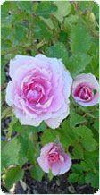 rosas y rosales