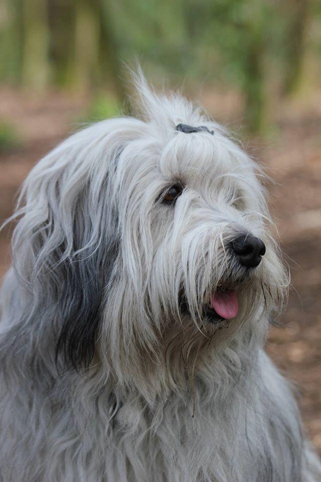 fotopagina nvn | pon poolse herder - old english sheepdog, bearded