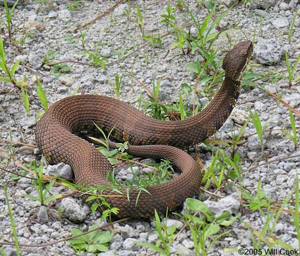 """""""Cotton Mouth (Water Moccasin) Common To TX"""" Yeah, I"""