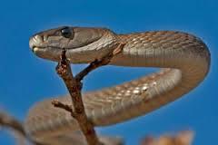 Black Mamba Snake Bites Venom Images And Information Black Mamba Snake Mamba Snake Black Mamba