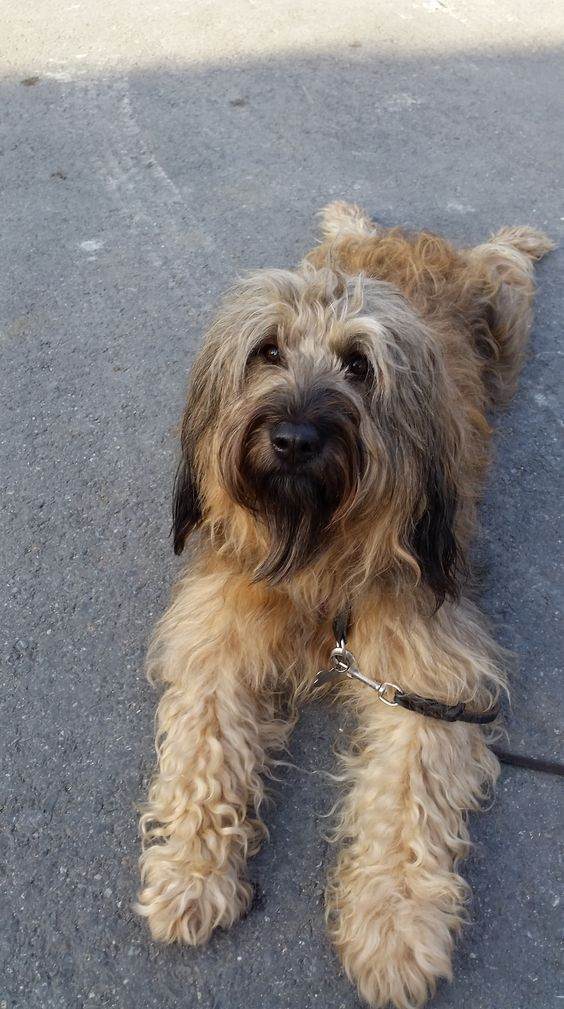Briard dog image by Emmeline Jewel on Dogs French dogs