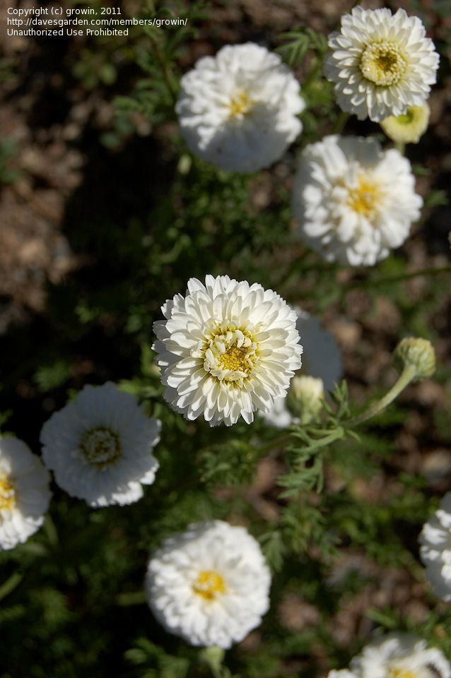diuble chamomile.. bought one a few years ago, that turned out to a mislabeled, non-flowering chamomile used for lawns...