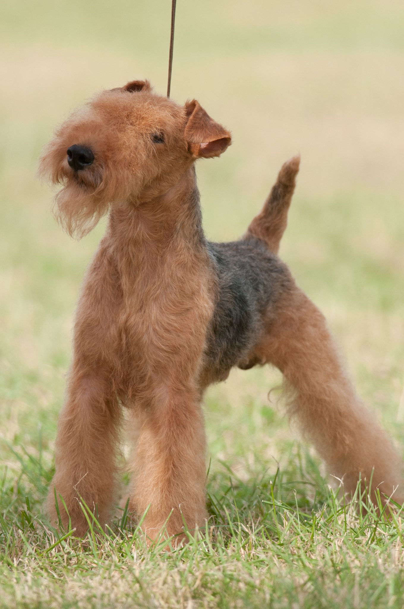 Lakeland Terrier Lakeland Terrier At The Hickories Circuit Dog Show In Upstate Ny In 2020 Lakeland Terrier Terrier Dog Photography