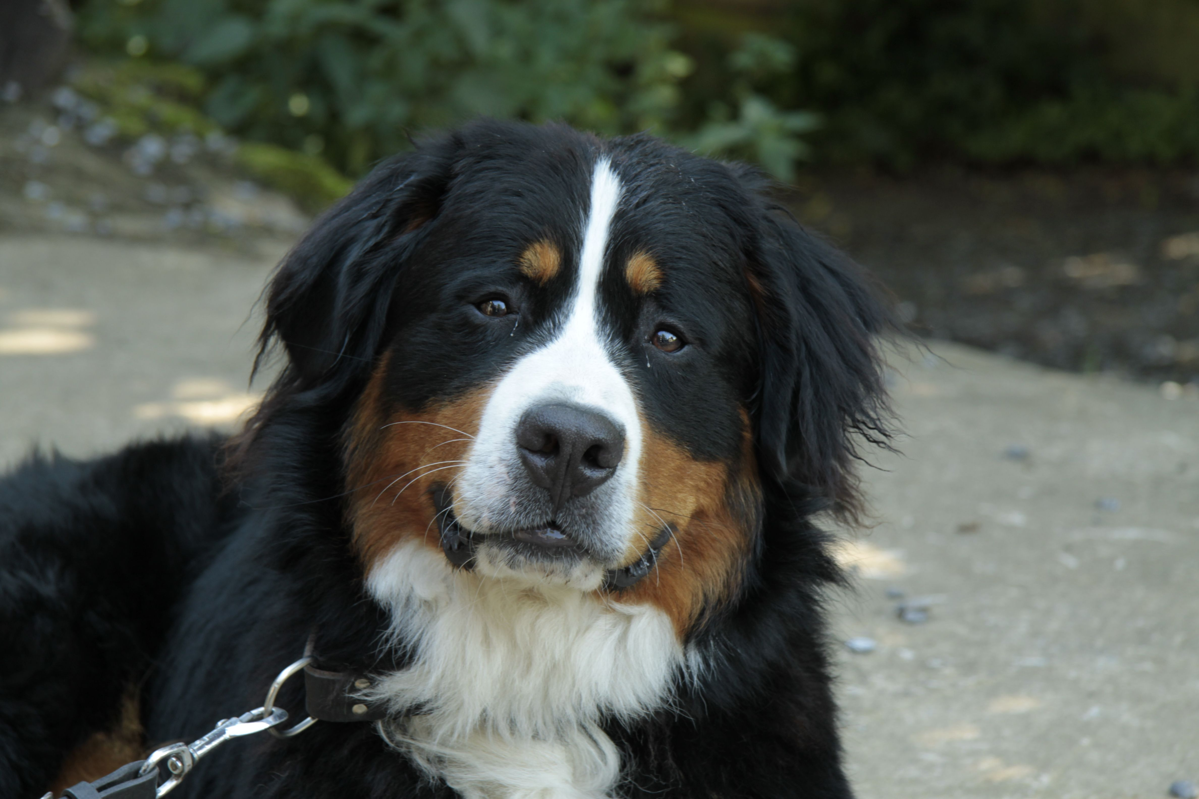 Pin By Tr On Bernese Mountain Dogs Bernese Mountain Dog Dog Friends Mountain Dogs