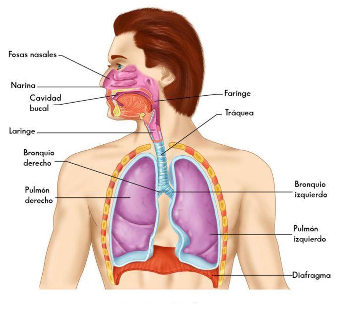 Anatomia Del Sistema Respiratorio Aparato Respiratorio Aparato Fonador Sistema Respiratorio
