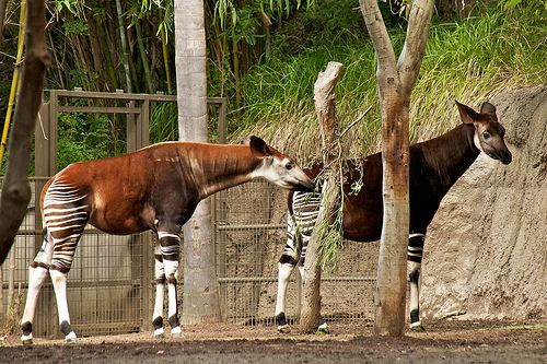 10 Extremes Animals Whose Names Begin With The Letter O Animals Okapi San Diego Zoo