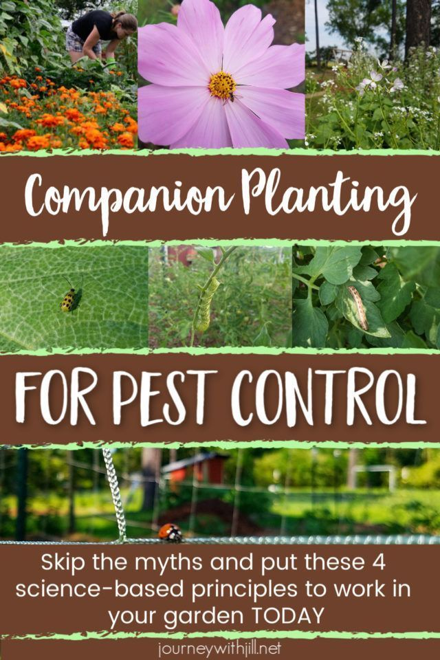 Companion Planting for Pest Control is part of Companion planting chart, Companion planting, Companion planting vegetables, Organic gardening tips, Planting vegetables, Garden layout vegetable - What can you plant in your garden to keep pests away  Skip the old wives' tales and learn these sciencebacked tips for companion planting for pest control