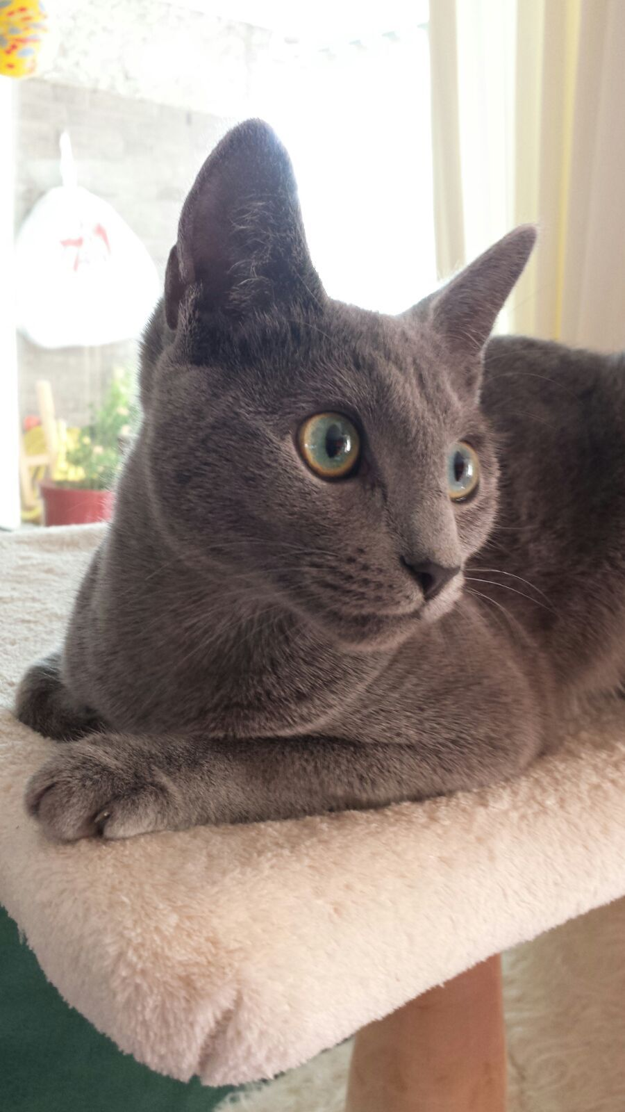 Pin by Anja Diepenbruck on Russian blue and other kitties