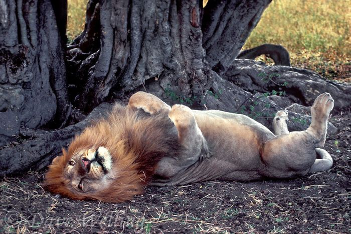 A Wild African Lion Lays On His Back In The Masai Mara Reserve In Kenya Animals Beautiful Animals Cats And Kittens