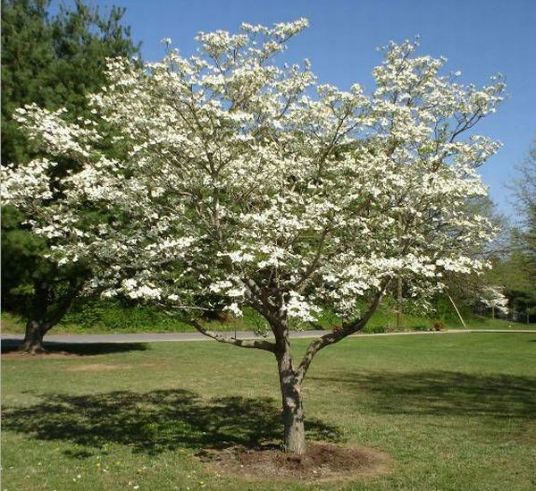 Flowering Dogwood In Bloom Spring April Other Than The Wisteria This