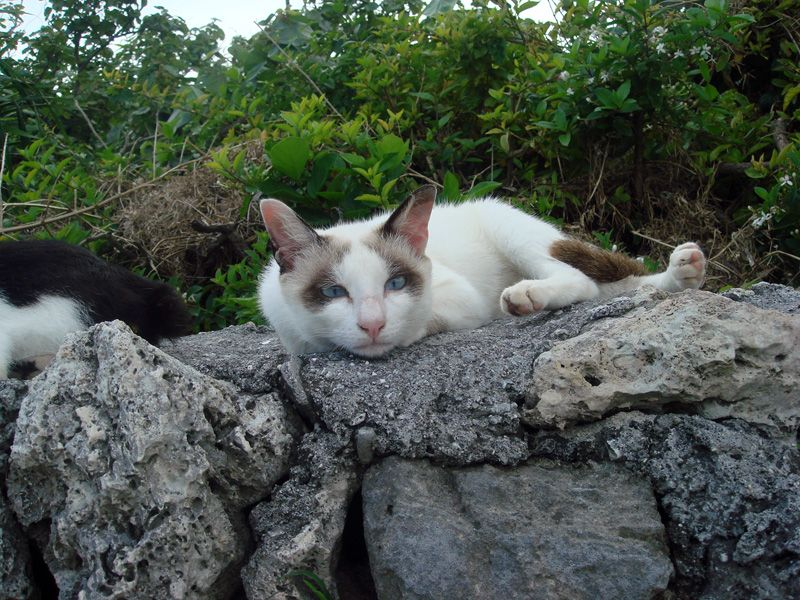Taketomi island (Okinawa Japan) Cat
