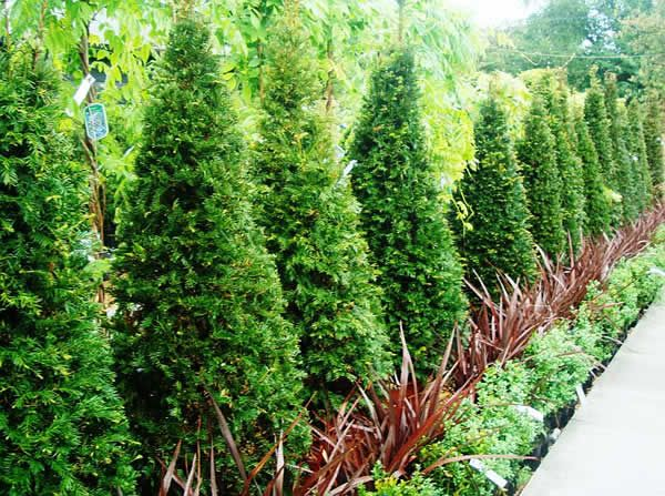 Topiary trees and shrubs taxus topiary yew cone shaped for Garden yew trees