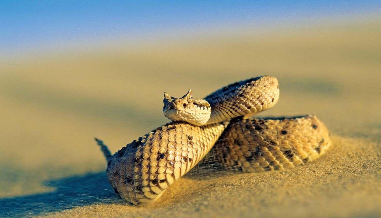 Sidewinder: A venomous pit viper species found in the desert