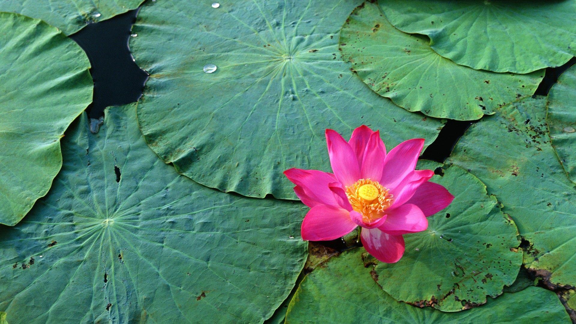 lotus hd wallpaper wallpapersafari lotus pinterest