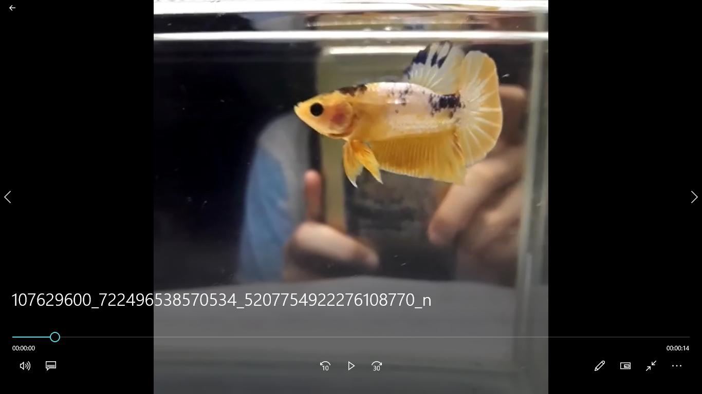 Album Video Koleksi Video Ikan Cupang Hias Di 2020 Ikan Cupang Ikan Lelang