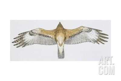 Zoology: Birds, Bonelli's Eagle (Hieraaetus Fasciatus) Giclee Print at Art.com