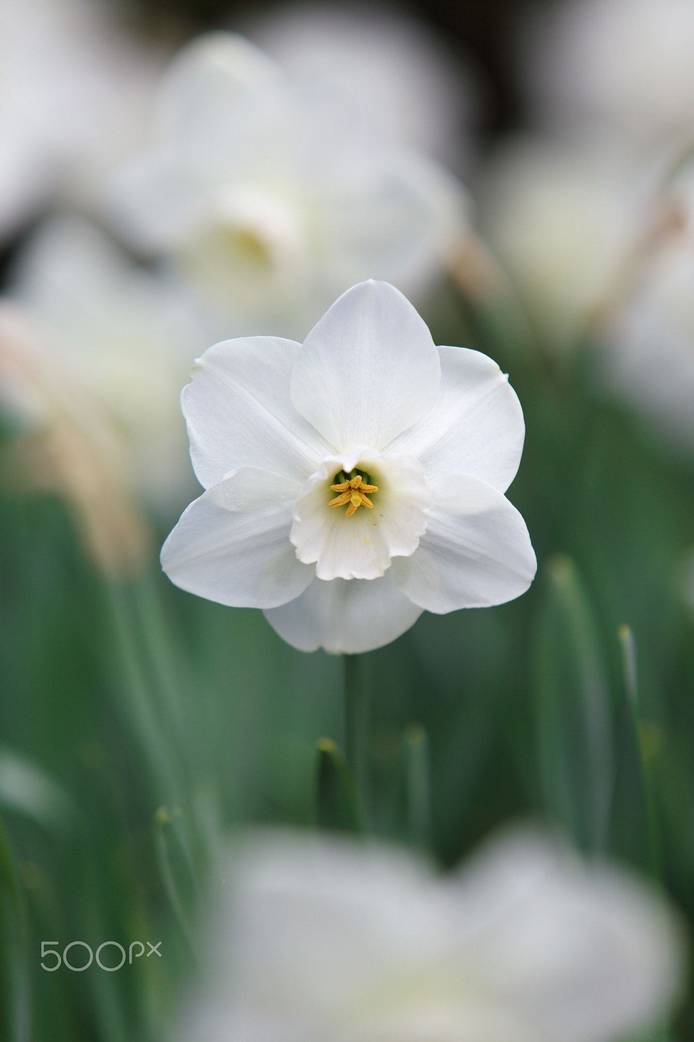 Spring White Beautiful White Daffodil In Early Spring Flowers