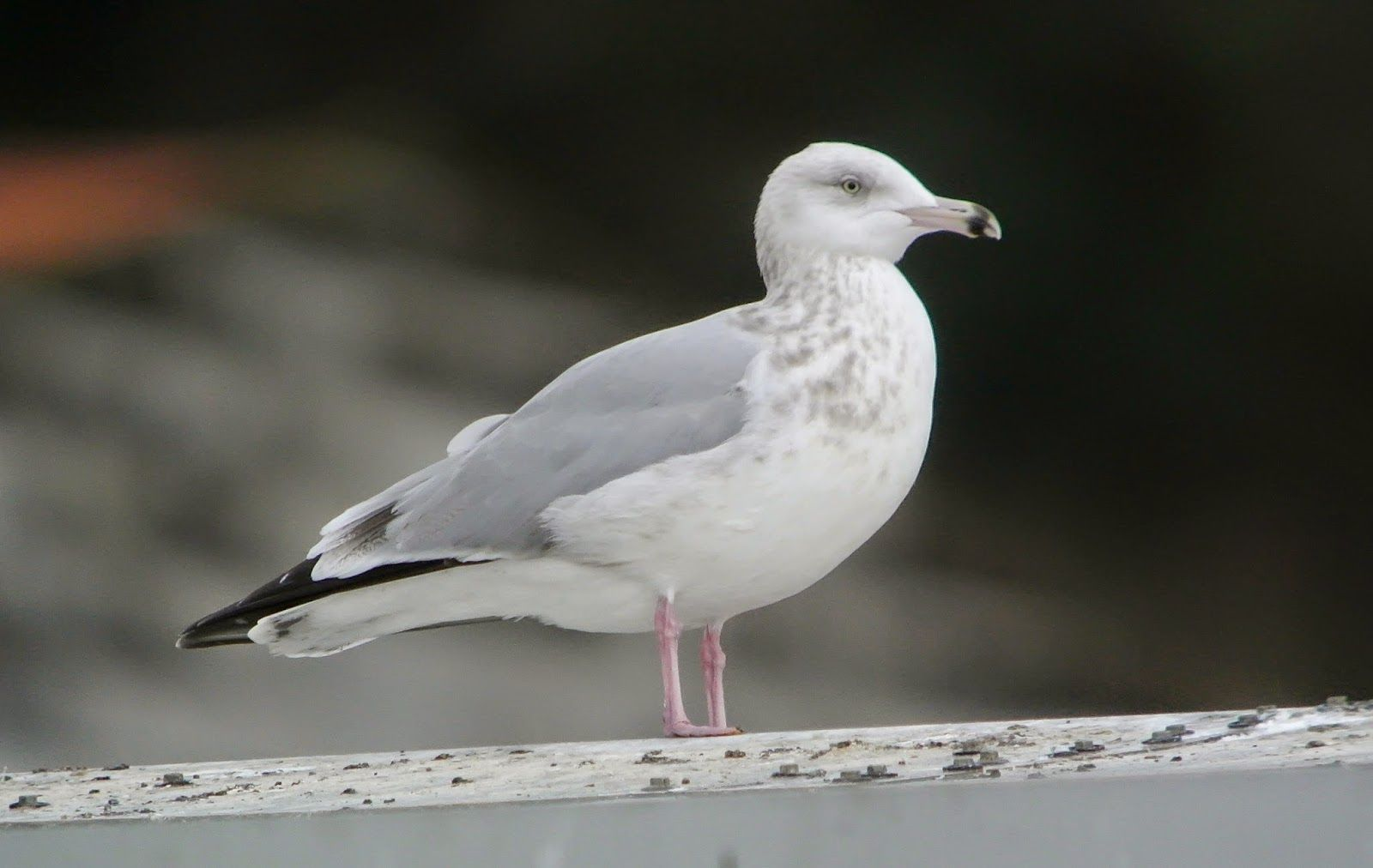 Gaviota Argentea Amaricanade 3 invierno, American Herring Gull 3 winter, Larus smithsonianus