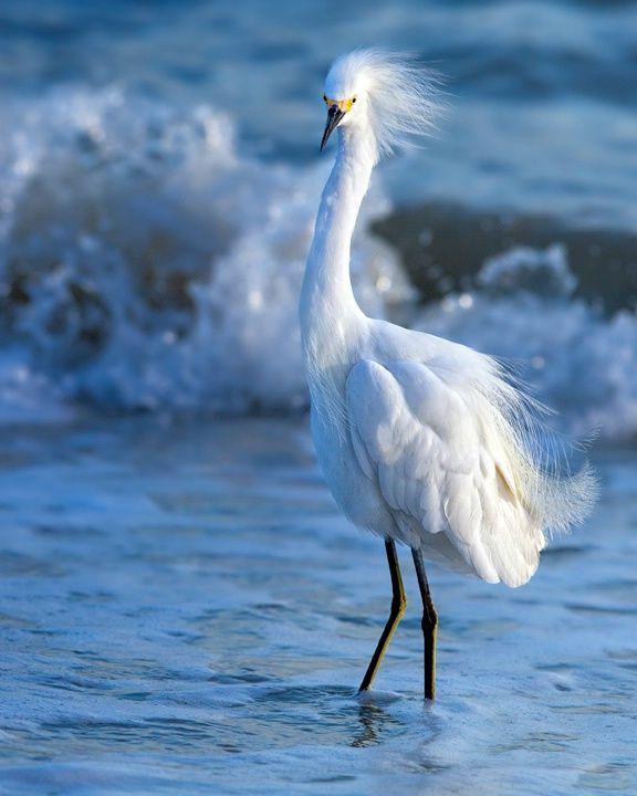 "Sanibel Island egret ""In the Breeze"" - ©Kathy Cline"