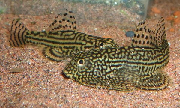 Hillstream Loach Fresh Water Fish Tank Cool Fish Aquarium Fish