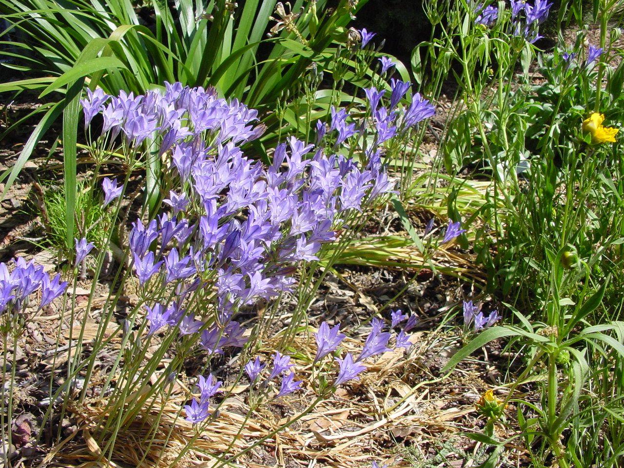 Garden Ideas Triteleia Laxa Native California Bulbs For Spring Dormant In Summer Returns Winter