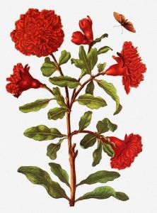 """Pomegranate and butterfly greeting card - taken from """"The New Book of Flowers"""" by Maria Sibylla Merian."""