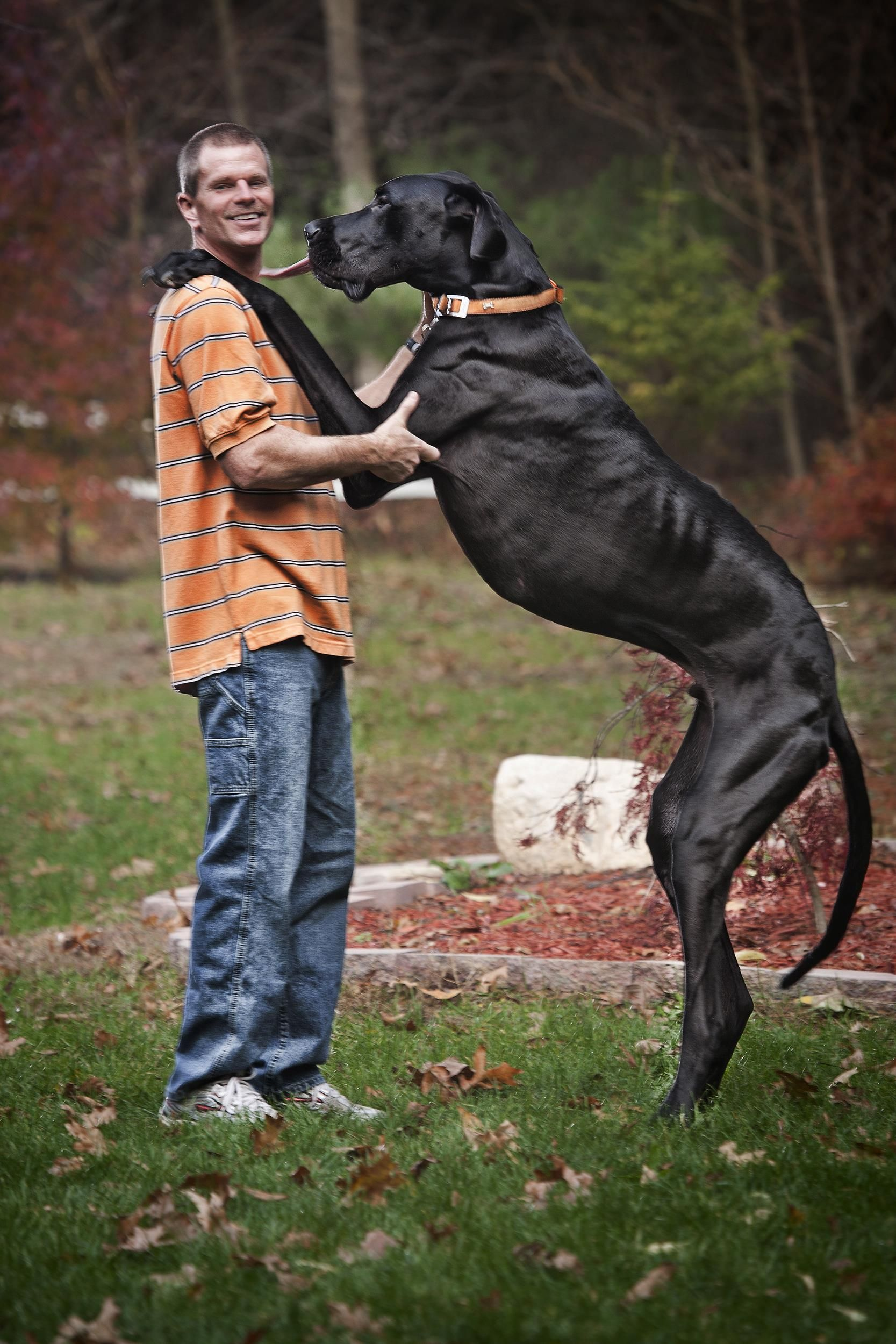 Zeus The World S Tallest Dog Ever Dies At Age Five Tallest Dog