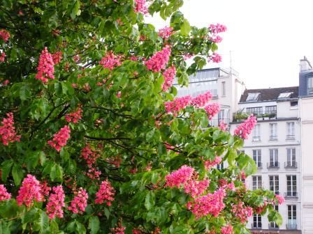 Horse chestnut pinterest parissit when the horse chestnut trees are in bloom in may mightylinksfo