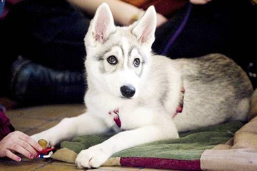 Utonagan Breed German Shepard Husky Alaskan Malamute Mix Puppy