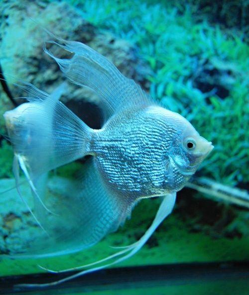 Platinum blue pearlscale veil angelfish beneath blue for Blue freshwater fish