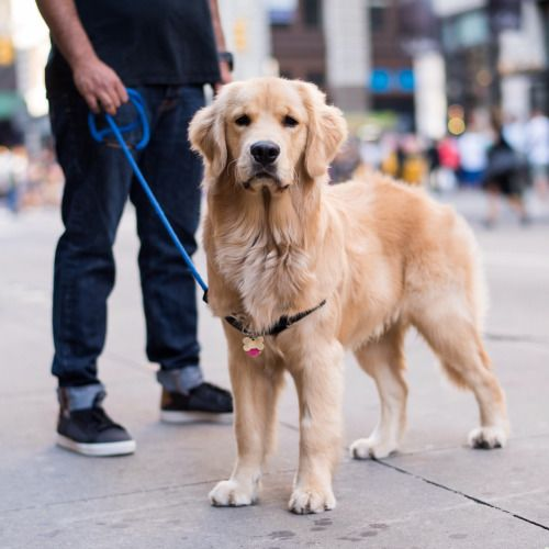 Thedogist Trouble Golden Retriever 7 M O Spring Broadway