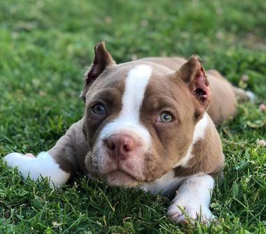 Buy Purebred Pit Bull Puppies For Sale At A Cheaper Price From