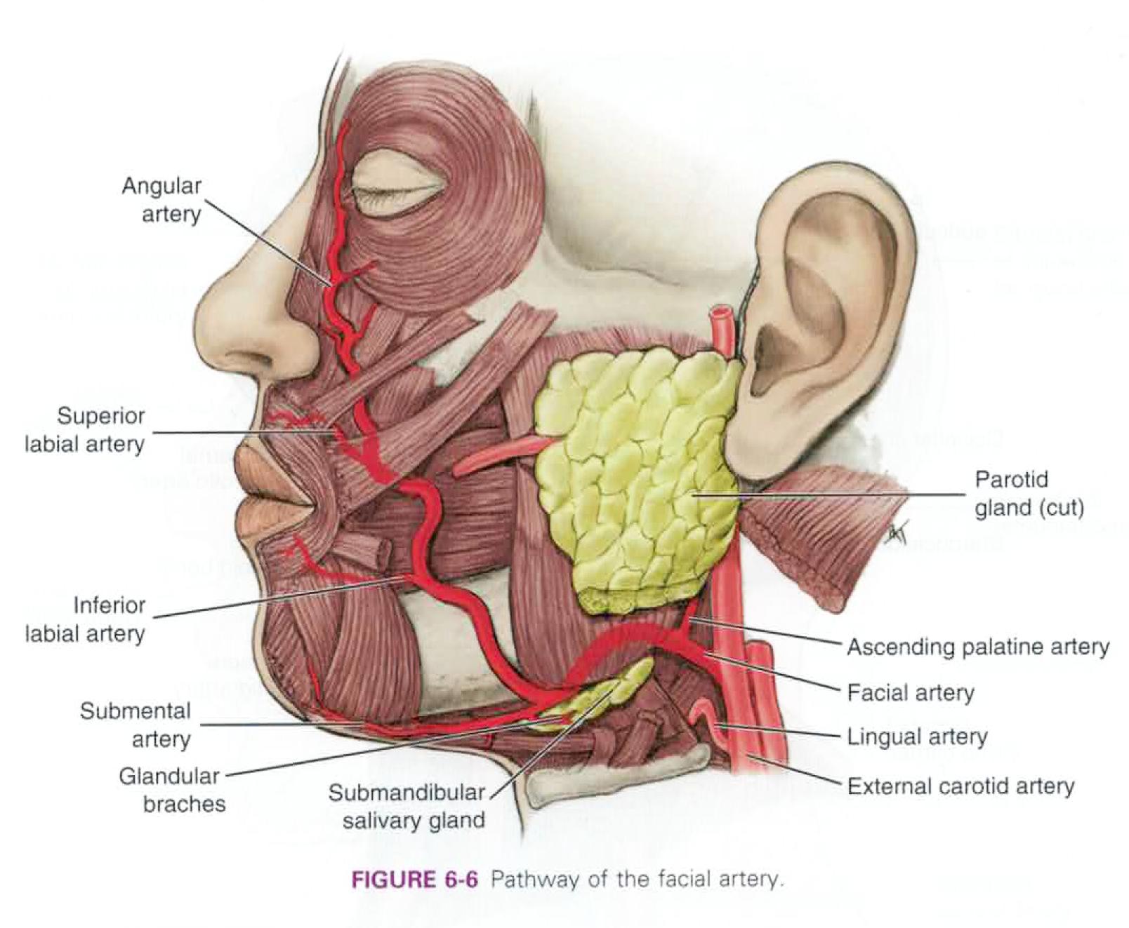 lingual artery - Akba.greenw.co