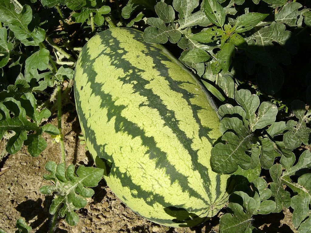 Watermelon Seeds,'Congo'- Non-GMO Heirloom Large fruit,30 to 50 lbs !