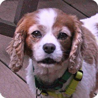 6 13 15 Haslet Tx Cavalier King Charles Spaniel Meet Tony A Dog For Adoption Htt Cavalier King Charles Cavalier King Charles Spaniel King Charles Spaniel