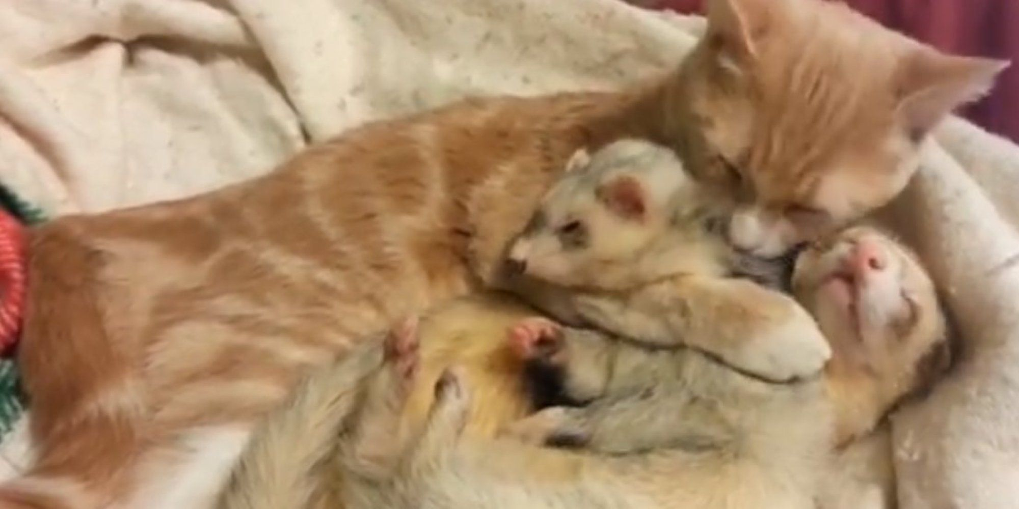 Cat And Ferrets Cuddling Are Just Too Much To Handle Ferret