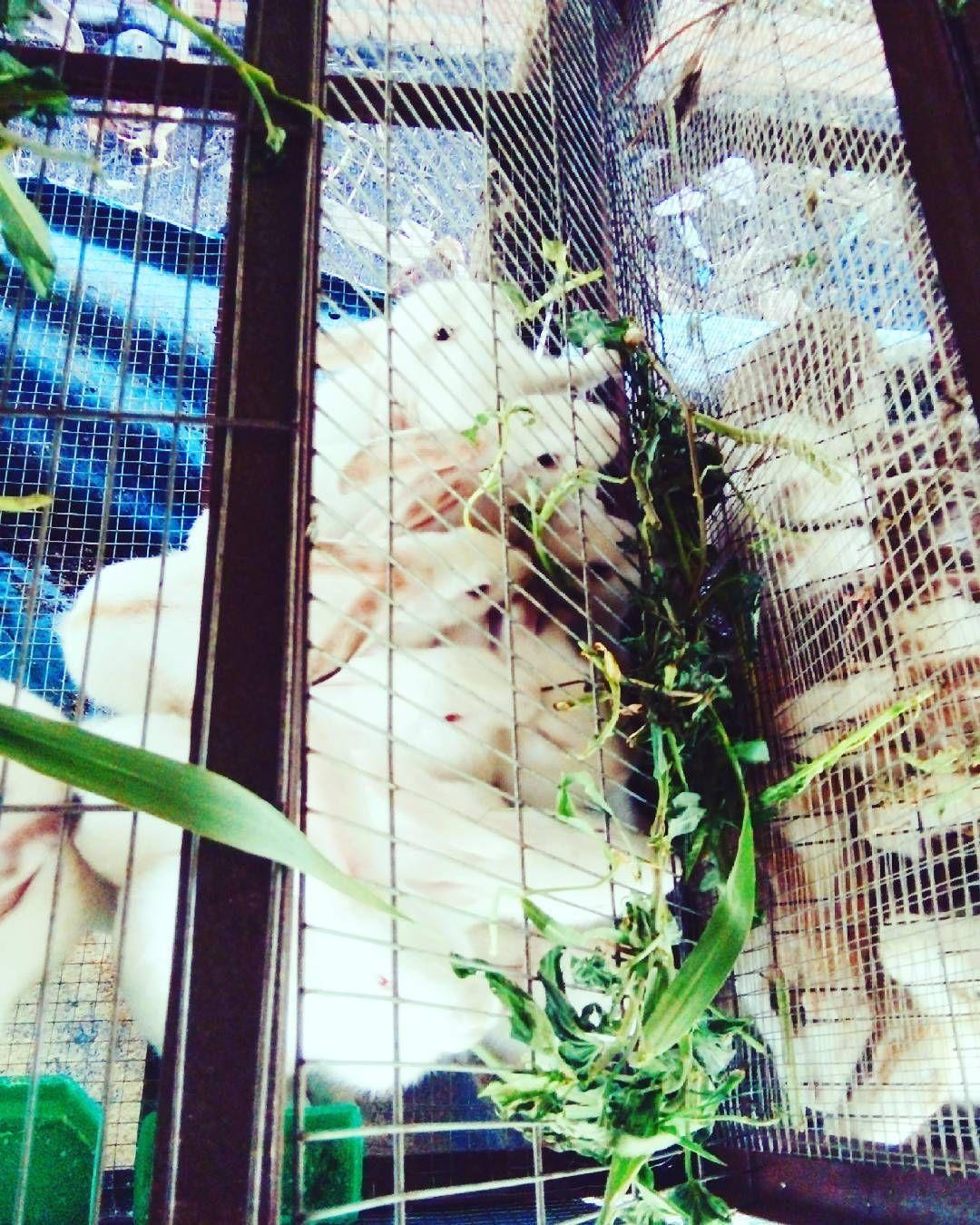 #rabbits #funnyfarm #vietnam #love by mychim117